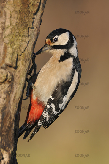Great Spotted Woodpecker * Dendrocopos major * searching for food