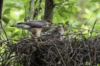 couple in nest... Sparrowhawks *Accipiter nisus*