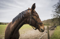 Brown horse with closed eyes