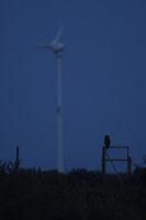 endangered... Eurasian Eagle Owl *Bubo bubo* hunting at night close to wind power turbine