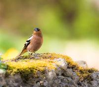 Closeup of a chaffinch bird
