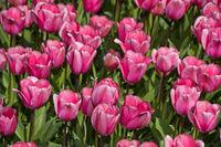 Pink Darwin Hybrid Tulips Love Me Tender, Keukenhof Flower Gardens, Lisse, Netherlands