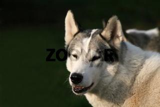 Siberian Husky - Schlittenhund