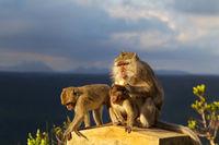 Crab-eating Macaques (Macaca fascicularis)