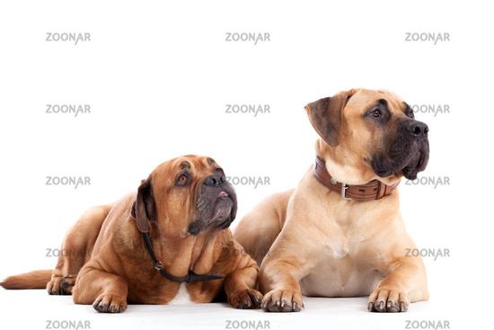 2 Bull mastiff dogs on white