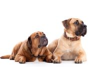 2 Bull mastiff dogs on white