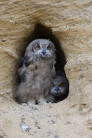 watching... Eurasian Eagle Owl *Bubo bubo*, funny owlets at their nesting site