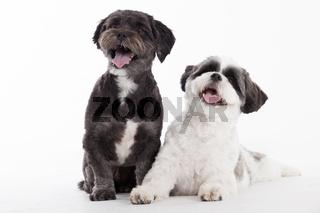 2 shi tzu dogs on white
