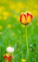 Tulips in a flower meadow