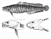 The burbot (Lota lota)