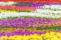 Field of colorful flowers tulips