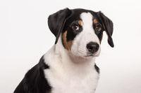 appenzeller dog in portrait