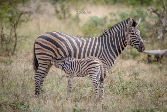 Baby Zebra suckling from his mother.