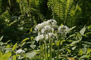 Allium ursinum, Bärenlauch mit Matteucia struthiopteris, Straußenfarn, Trichterfarm im Licht