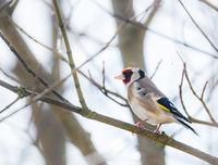 European goldfinch sitting on a tree branch