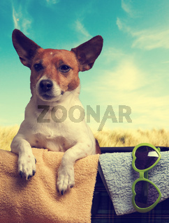 Travel concept with a Jack Russell Terrier