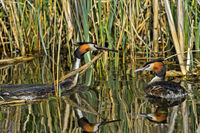 Great crested grebe (Podiceps cristatus) bringing nesting material to the nest,