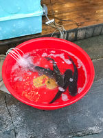 live catfish fishes in plastic basin on street