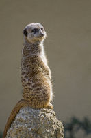 Meerkat from the wildlife of South Africa
