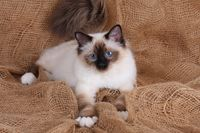 SACRED CAT OF BIRMA, BIRMAN CAT, SEAL-POINT,