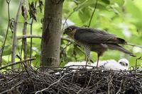 short visit at its nest... male Eurasian Sparrowhawk *Accipiter nisus*