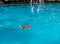 Duck swimming in reflecting pool at Korean war memorial