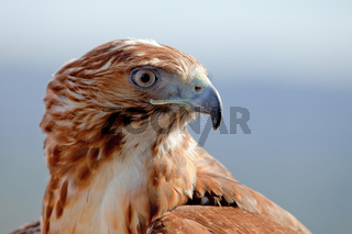 Rotschwanzbussard, Eagle of red tail (Buteo jamaicensis)