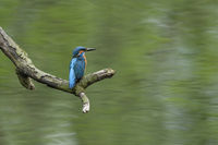 Eurasian Kingfisher * Alcedo atthis * watching for its territory