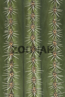 Saeulenkaktus, parallele Reihen der Areolen, Cereus chalybaeus, Cactus