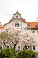 Flowering tree at a government building Augsburg