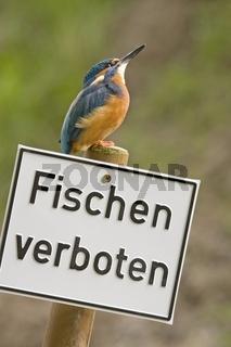 Eisvogel (Alcedo atthis)