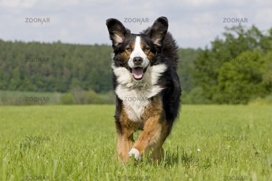 Mountain dog halfbreed