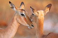 Impalas in love in South Africa, Aepyceros melampus