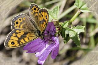 Mauerfuchs, Augenfalter, Schmetterling, (Lasiommata megera),