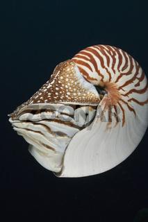 Palau-Perlboot, Nautilus belauensis, Mikronesien, Palau, Chambered Nautilus, Micronesia