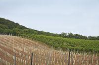 Kahlenberg mit Weingärten