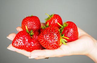 Hand full of big red fresh ripe strawberries isolated towards gray