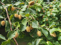 beechnuts on a beech tree branch