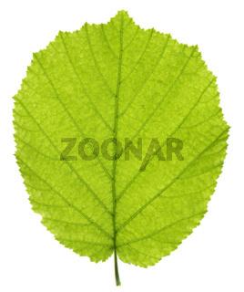 single leaf of hazelnut tree isolated over white background