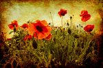 ambient retro poppies