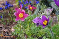 Kuechenschelle - pasque flower or pulsatilla vulgaris