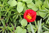 Portulaca flowers background in the garden 20532
