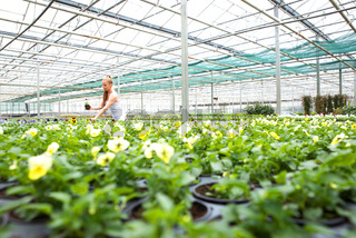 Young gardener working in a large greenhouse nursery