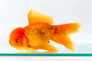goldfish isolated in glass fish tank