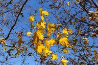 Branch of autumn maple