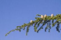 Branch of a cedar tree
