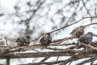 Many common european starling birds on grape vine while snowfall
