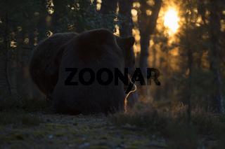 spielerischer Kampf im Gegenlicht... Europäischer Braunbär *Ursus arctos*
