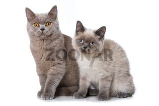 Zwei Britisch Kurzhaar Katzen