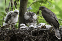 caring for its chicks... Sparrowhawk *Accipiter nisus*